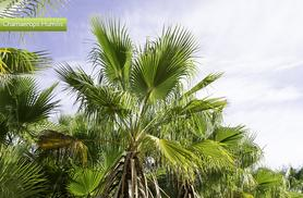 £29.99 instead of £49.99 (from Bristol Tropical Centre) for two palm trees or £36.99 for three trees - save up to 40% + DELIVERY INCLUDED!