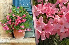 £12.50 instead of £24.99 (from You Garden) for a collection of 3 Mediterranean Oleander pot plants - save 50%