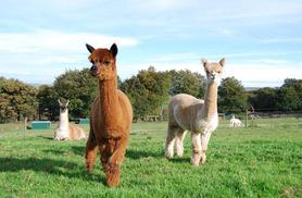 £7 instead of £13.90 for alpaca farm entry for 2 people, £9 for 3 or £11 for 4 at Mayfield Alpacas, Sheffield - save up to 50%