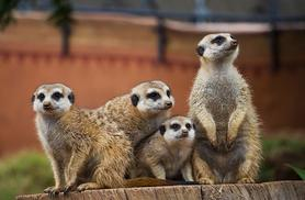 £39 instead of £99 for a 1-hour meerkat experience for 2 with Will's Wild Animal Encounters - feed and cuddle meerkats & save 61%