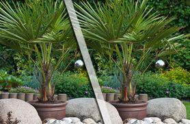 £24.99 instead of £39.98 (from You Garden) for 2 hardy palm trees, £32.99 with pots and fertiliser - save up to 37%