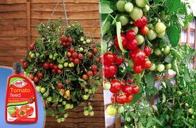 £9.99 instead of £17.98 (from You Garden) for two 'Tumbling Tom' tomato hanging basket kits with tomato feed - grow your own juicy tomatoes and save 44%