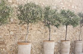 £26.99 instead of £64.78 (from Bristol Tropical Centre) for two Mediterranean olive trees - save 58%