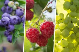 £17.99 instead of £59.99 (from Bristol Tropical Centre) for a collection of four patio fruit plants - save 67%