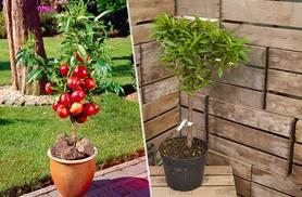 £12.99 instead of £24.99 (from Blooming Direct) for a one-metre patio nectarine tree - embrace nature and save 48%