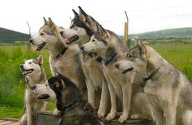 £19 instead of £40 for a 12-month husky adoption pack, £24 including the chance to meet your sponsored husky with Horse and Husky, Cumbria - save up to 52%