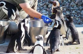 £49 for a meet the animals experience for two from Activity Superstore - meet penguins, meerkats or lemurs!