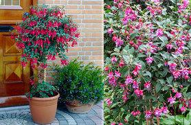 £17.99 instead of £29.99 for a pair of flowering standard fuchsias - save 40%