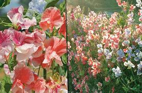 £4.99 instead of £11.99 (from Dobies of Devon) for a mix of 12 garden-ready sweet pea super scent plug plants, £8.99 for a mix of 24 plants - save up to 58%