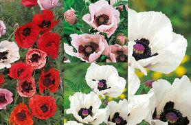 £7.99 instead of £19.99 (from Dobies of Devon) for 10 mixed poppy plants, £12.99 for 20 poppy plants - save up to 60%