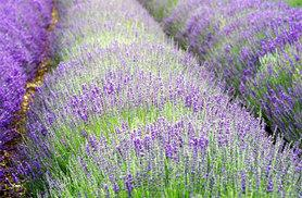 £7.99 instead of £19.99 for 10 lavender Hidcote Blue plants, or £12.99 for 20 plants - save up to 60%
