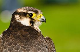 £23 for a three-hour bird of prey experience at one of four UK locations from Buyagift!