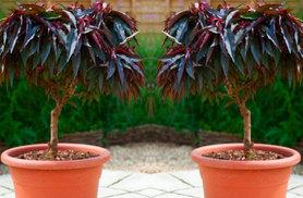 £19.99 instead of £29.99 (from Plant Store) for a red leaf peach tree, or £34.99 for two - save up to 33% + DELIVERY INCLUDED