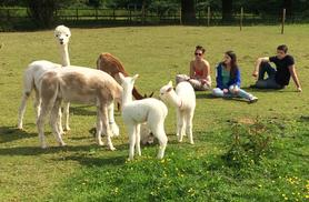 £4 instead of £10 for a 90-minute meet the alpacas trek and farm entry for a child, or £9 for an adult ticket at Lucky Tails Alpacas, Atherstone - save up to 60%