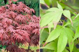 £7.99 instead of £19.98 (from Van Meuwen) for two potted Acer plants, or four for £12 - green your fingers and save up to 60%