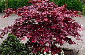 £29.99 instead of £75 (from PlantStore) for a Japanese acer maple collection - get four different varieties and save 60% + DELIVERY IS INCLUDED!