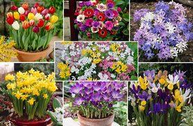 £9.99 instead of £19.99 (from Blooming Direct) for a 300-bulb spring flower collection - save 50%