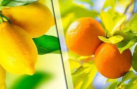 £24.99 instead of £39.98 (from You Garden) for a pair of lemon and orange citrus trees - save 37%
