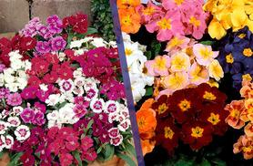 £11.99 instead of £30.96 (from Dobies of Devon) for 180 autumn bedding plug plants – save 61%