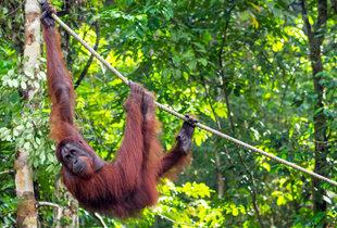 From £899pp (from World Choice Sports) for an 8nt 4* Borneo, Malaysia stay with orangutan wildlife centre tour, half-day dolphin watching cruise, flights & breakfast