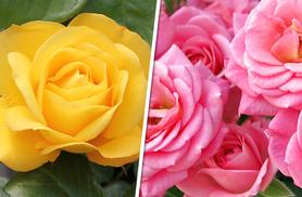 £19.99 instead of £39.96 (from You Garden) for four potted rose bushes - save 50%