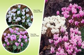 £17.99 instead of £29.99 (from You Garden) for six autumn-flowering hardy cyclamen plants – save 40%