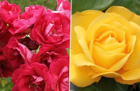£11.99 instead of £19.99 (from You Garden) for 5 rose bushes - get a collection of varieties and save 40%