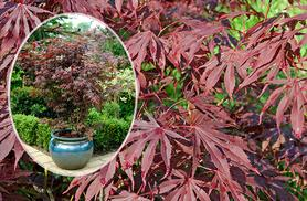 £17.99 instead of £29.99 (from You Garden) for three Japanese maple plants, or £34 for six plants - save up to 40%