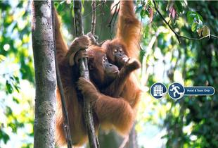 From £269pp (from Expedition Jungle) for an eight-night Sumatran wild orangutan and tiger tour including accommodation, selected meals and tour guide - save up to 27%
