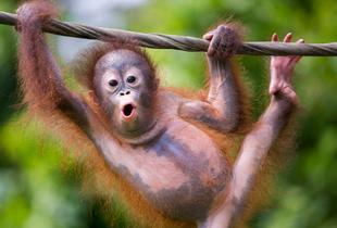 £1159pp for an 11-night Borneo, Kuala Lumpur and Bali break with an orangutan, sen bear and rainforest tour and flights, or pay a £500pp deposit today