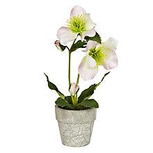 Buy John Lewis Croft Collection Potted Hellebore Online at johnlewis.com