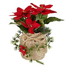 Buy John Lewis Hessian Potted Poinsettia Red Online at johnlewis.com
